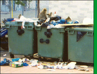 Apes raid bins at Catalan Bay
